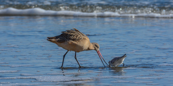 Marbled Godwit & Sanderling at Drakes Beach, Point Reyes National Seashore.