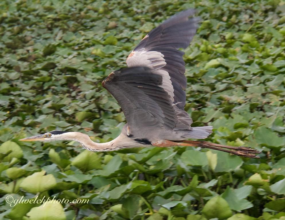 Blue heron in flight over water lilies