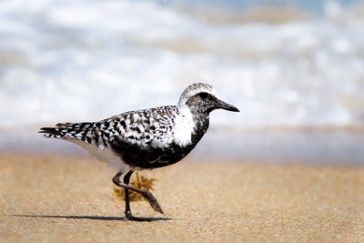 Black-Bellied Plover Breeding Plumage