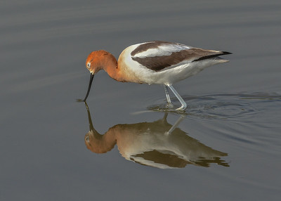 Avocet, Petaluma wetlands, California.