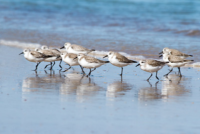 Sanderlings (Sandpiper Family)