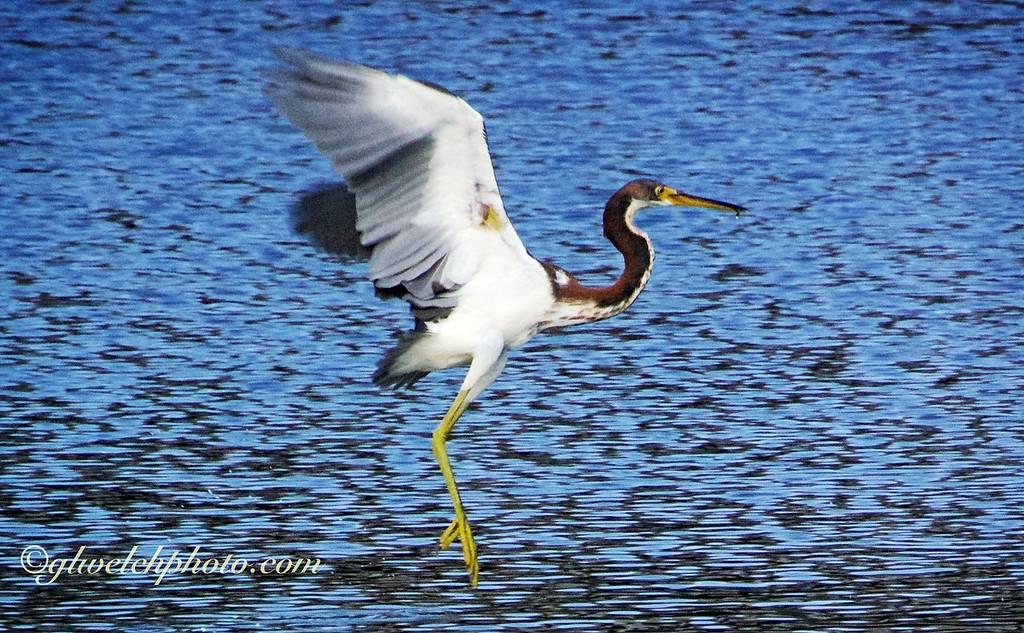 Tri-Color Heron landing