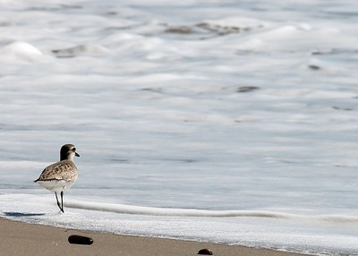 Malibu Plover 2