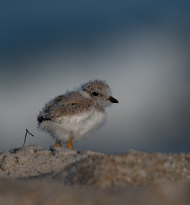 Piping Plover sandy butt
