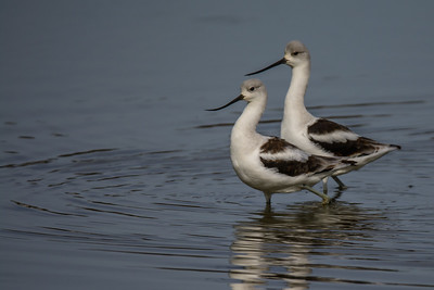 Avocets in non-breeding plumage, Petaluma wetlands, California.