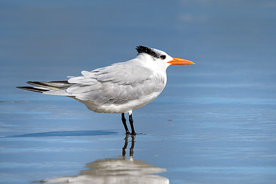 Royal Tern at New Smyrna Beach