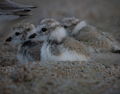 Piping Plover chicks We Three