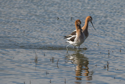 Avocets in breeding plumage, Petaluma wetlands, California.