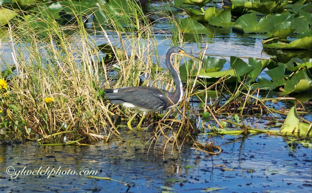 Tri-Colored Heron on Lake Kissimmee, Florida