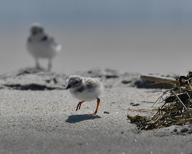 Piping Plover chick and mom