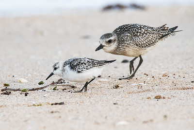 Sanderling and Non-Breeding Black-Bellied Plover