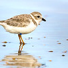 Piping Plover (banded) - New Smyrna