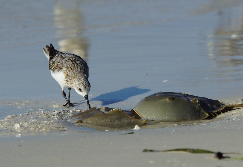 Sanderling with Horseshoe crabs