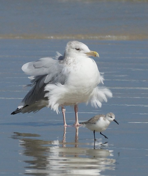 Herring Gull with Sanderling
