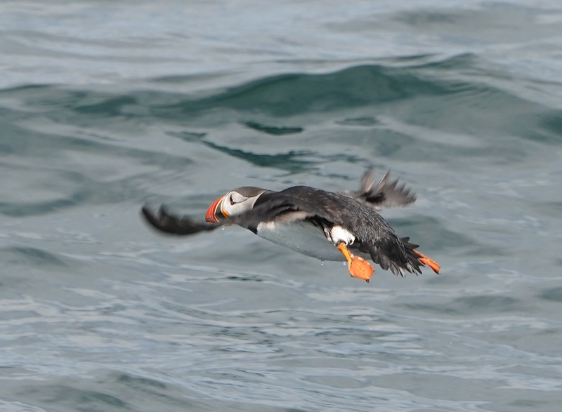 Puffin in Maine