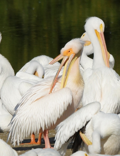 Great White Pelican among American White Pelicans