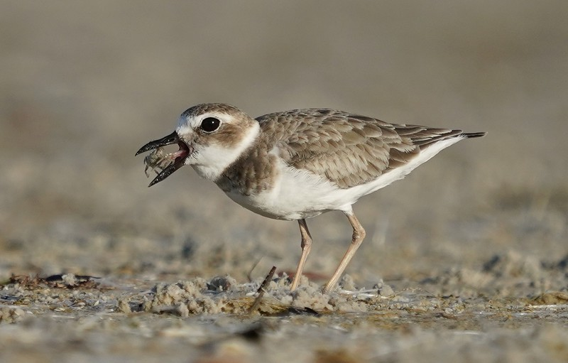 Wilsons Plover with crab