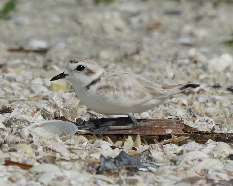 Snowy Plover kneeling on Pen Shell