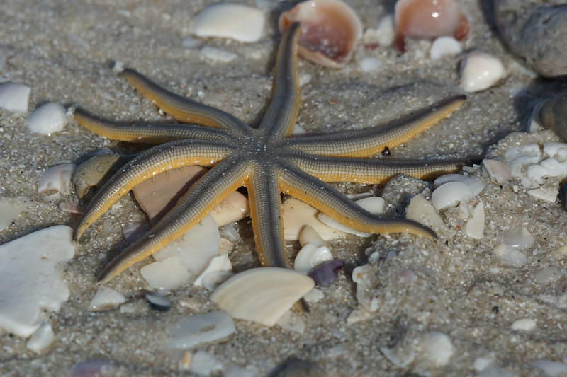 Nine-leggged Starfish