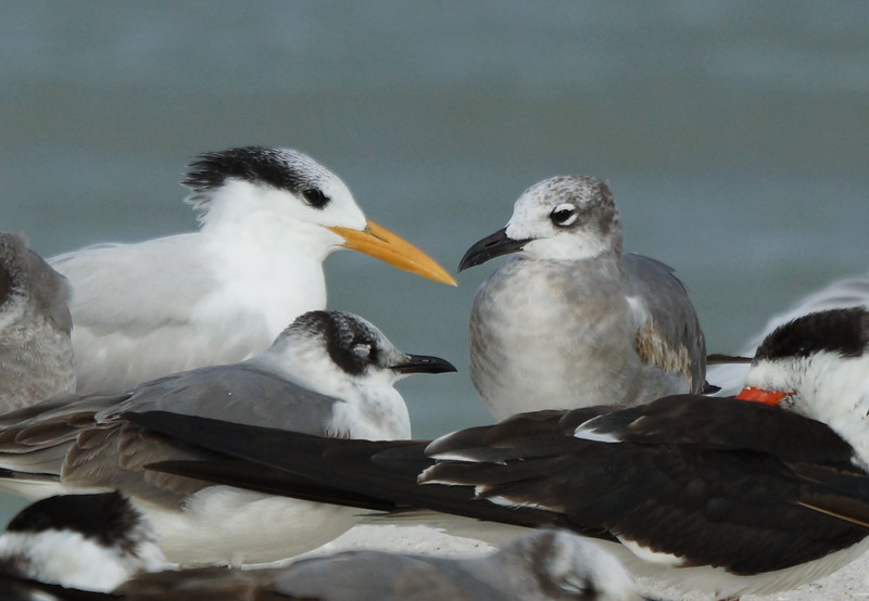 Royal Tern, Franklins Gull, Laughing Full, Skimmer