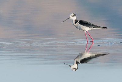 White backed Stilt