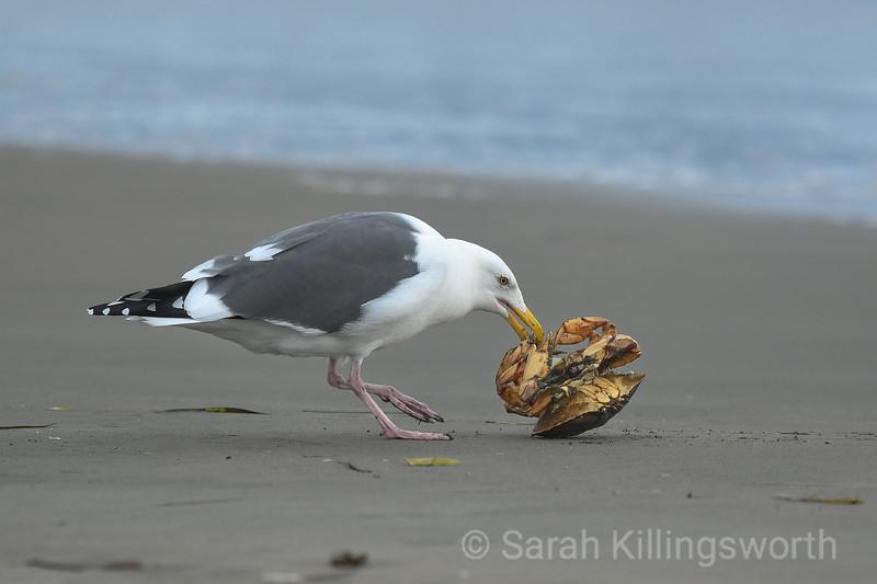 beak and claw lock