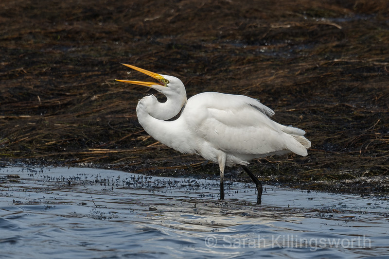 egret snapping up a minnow