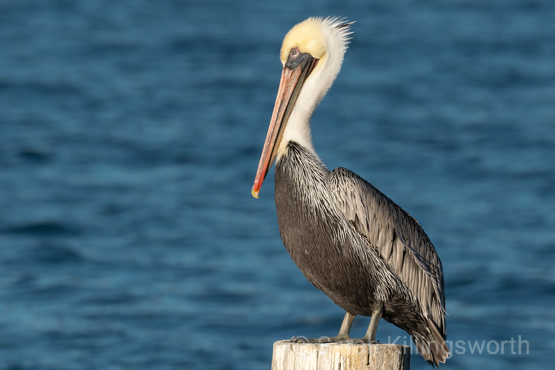 tomales pelican