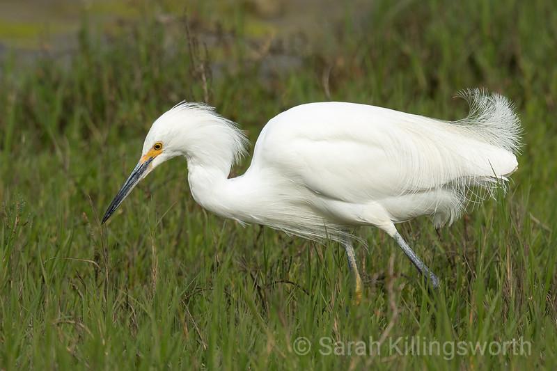 great egret in spring