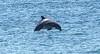 dolphin01