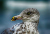 Seagull nik