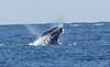 A whale04