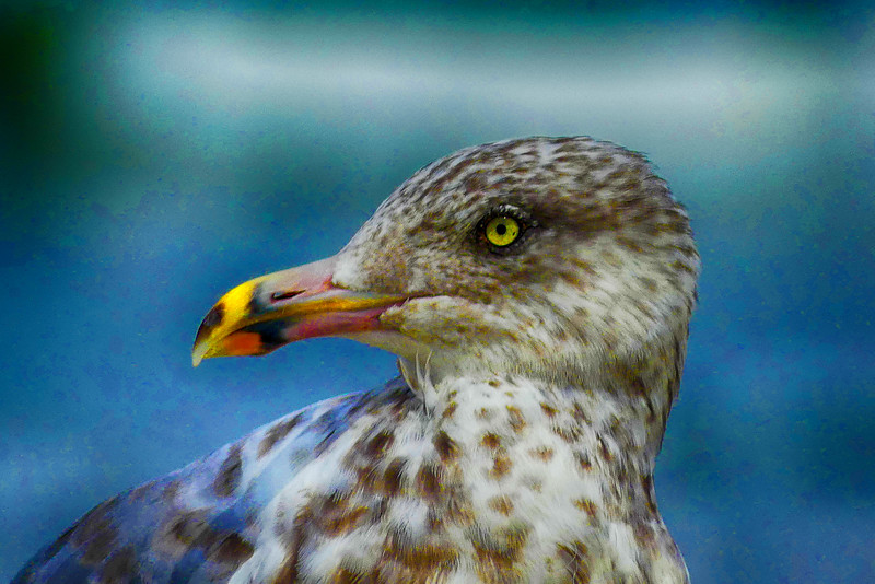 Seagull nik 2