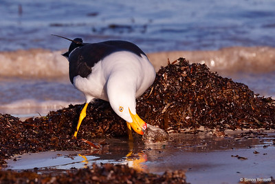 Pacific Gull with whelk