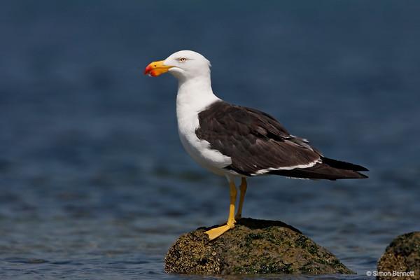Shorebirds, Gulls and Terns