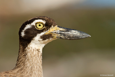 Beech Thick-knee