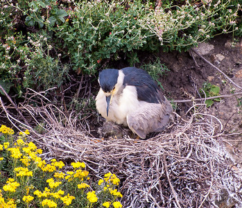 Black-crowned Night-Heron with chick