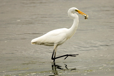 Great Egret with a fish.  Photo taken at the Tokeland Marina in Tokeland, Washington.