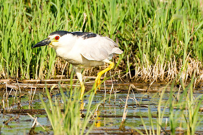 Black-Crowned Night-Heron by Salt Lake in Burleigh County, North Dakota.