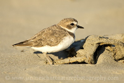 Snowy Plover in non-breeding plumage.  Photo taken at Grayland Beach State Park in Grayland, Washington.