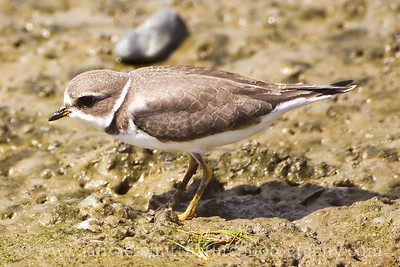 Semipalmated Plover at Theler Wetlands in Belfair, Washington.