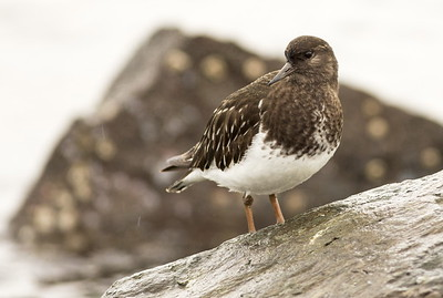 Black Turnstone in the rain.  Photo taken in Port Angeles, Washington.