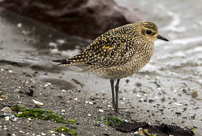 Pacific Golden-Plover in non-breeding plumage.  Photo taken at Ediz Hook in Port Angeles, Washington.