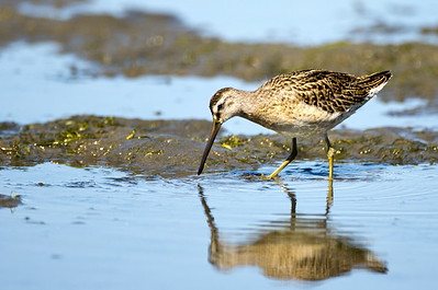 Short-billed dowitcher at Bottle Beach State Park near Ocosta, Washington.