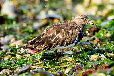Black Turnstone at Fort Flagler State Park near Port Townsend, Washington.