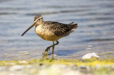 Long-billed Dowitcher in breeding plumage.  Photo taken near Sequim, Washington.