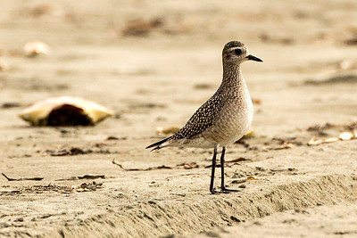 American Golden-Plover in non-breeding plumage near Copalis Beach, Washington.