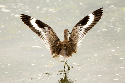 Willet showing off its striking wing patterns.  Photo taken at the Tokeland Marina in Tokeland, Washington.