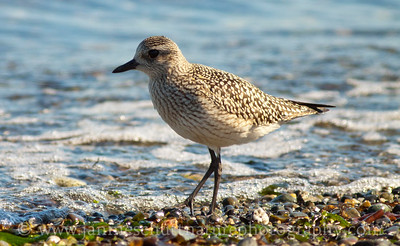 Juvenile Black-bellied Plover at Norwegian Point County Park in Hansville, Washington.