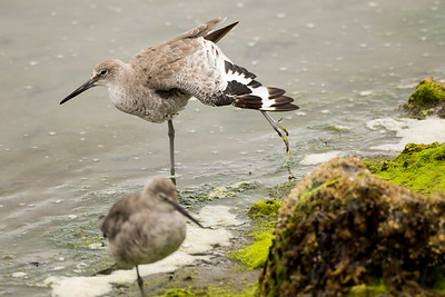 Willets at the Tokeland Marina in Tokeland, Washington.